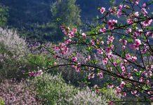 du lịch sapa mùa hoa đào